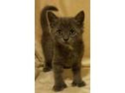 Adopt Polly a Russian Blue, Nebelung
