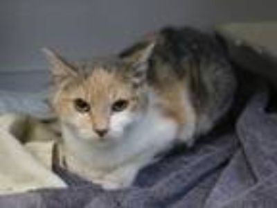 Adopt Fen a Calico or Dilute Calico Calico (short coat) cat in Houghton