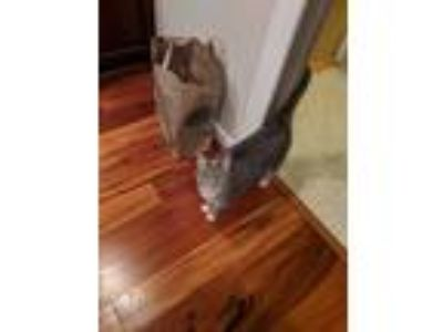Adopt Sophie a Gray, Blue or Silver Tabby Domestic Shorthair / Mixed cat in West