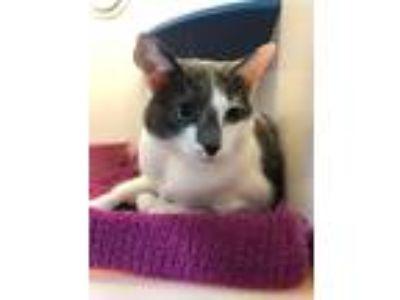 Adopt SHELL a Domestic Shorthair / Mixed (short coat) cat in Redwood City