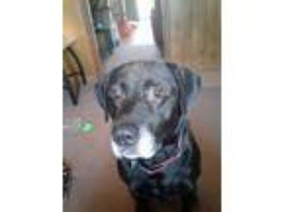 Adopt Ember a Black Labrador Retriever / Mixed dog in Moscow, TN (22531103)