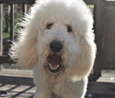 AKC Standard Poodle Big Male-Michigan