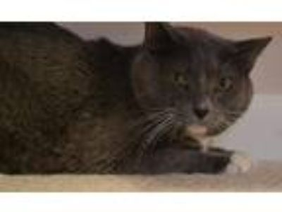 Adopt Zeus a Gray or Blue (Mostly) American Shorthair / Mixed (medium coat) cat