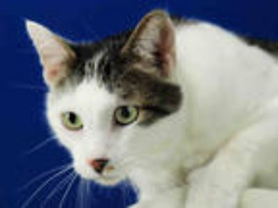Adopt BOSLEY a Brown Tabby Domestic Shorthair / Mixed (short coat) cat in