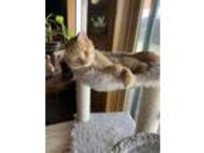 Adopt Pooh a Orange or Red (Mostly) American Shorthair cat in Randall