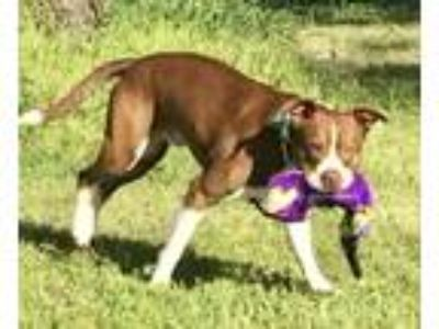 Adopt Brewster a Brown/Chocolate - with White Boxer / Mixed dog in Harrisburg