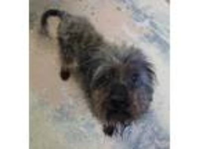 Adopt Myrtle a Black Cairn Terrier / Mixed dog in West Memphis, AR (25564411)