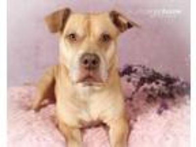 Adopt Lauralei a American Staffordshire Terrier, Yellow Labrador Retriever