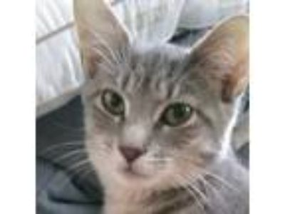 Adopt Antonia. Courtesy Post a Domestic Shorthair / Mixed (short coat) cat in