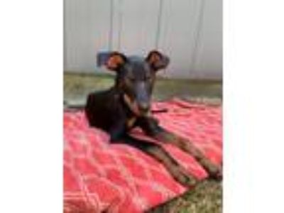 Adopt Espresso a German Pinscher, Labrador Retriever