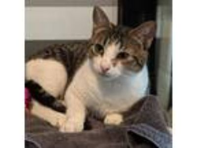 Adopt Minnie Moo a Domestic Shorthair / Mixed cat in Austin, TX (22859926)