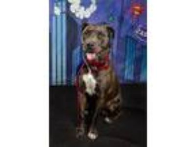 Adopt Amber a Pit Bull Terrier