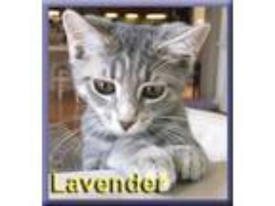 Adopt Lavender a Gray, Blue or Silver Tabby Domestic Shorthair (short coat) cat