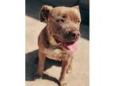 Adopt Marley a Brown/Chocolate - with White American Pit Bull Terrier dog in
