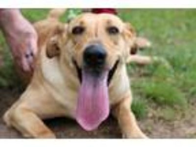 Adopt Leila a Collie, Labrador Retriever