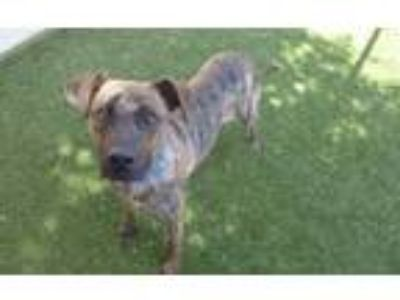 Adopt *DEVLIN a Brindle - with White American Pit Bull Terrier / Mixed dog in