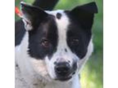 Adopt Captain a Border Collie, Australian Shepherd