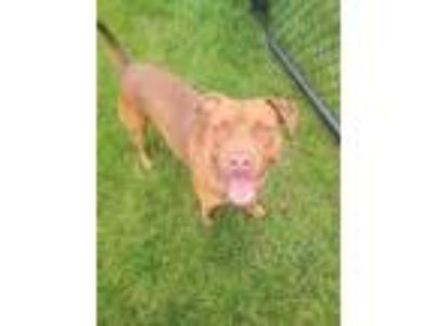 Adopt MAUI a Pit Bull Terrier / Mixed dog in Wintersville, OH (24924133)