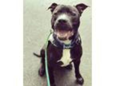 Adopt Malcom a Pit Bull Terrier