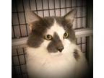 Adopt Bumper a Gray or Blue (Mostly) Domestic Mediumhair / Mixed cat in St.