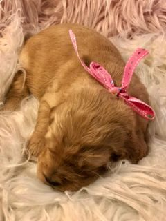Goldendoodle PUPPY FOR SALE ADN-96018 - Ally F1 goldendoodle