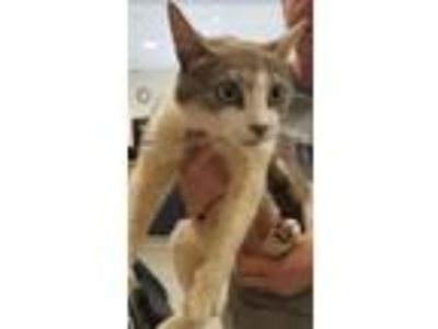Adopt Petunia a Domestic Shorthair / Mixed cat in Charlottesville, VA (25638377)