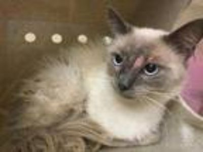 Adopt Cat a Brown or Chocolate (Mostly) Siamese / Mixed (short coat) cat in