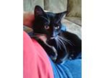 Adopt Oreo a Black & White or Tuxedo American Shorthair / Mixed cat in Franklin