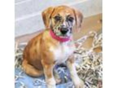 Adopt Jeckle a Brown/Chocolate Labrador Retriever / Great Dane / Mixed dog in