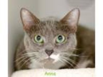 Adopt Anna a Gray or Blue (Mostly) Domestic Shorthair / Mixed cat in Hot Springs