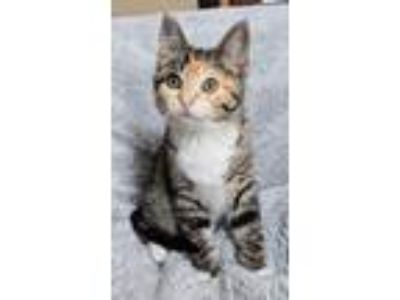 Adopt Jessie a Tan or Fawn Tabby Domestic Shorthair (short coat) cat in Sioux