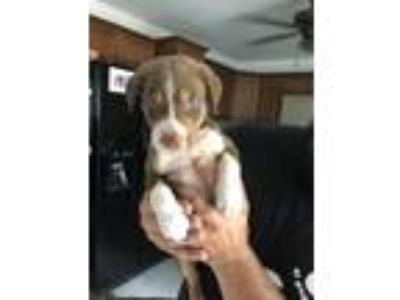 Adopt Chip a Brown/Chocolate - with White Labrador Retriever / Mixed dog in