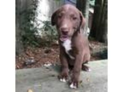 Adopt Puppy 1 a Brown/Chocolate Labrador Retriever / Mixed Breed (Medium) dog in