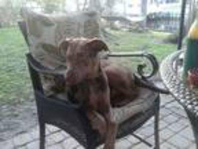 Adopt Dakota a Brindle Catahoula Leopard Dog / Border Collie / Mixed dog in West