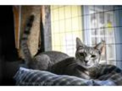 Adopt Jazzy Pants a Domestic Shorthair / Mixed (short coat) cat in New Orleans