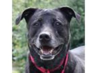 Adopt Cleo a Black Labrador Retriever / Chow Chow / Mixed dog in Ann Arbor