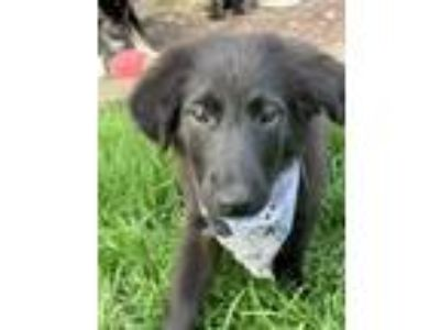 Adopt Lou a Black Border Collie / Great Pyrenees / Mixed dog in Lakeville