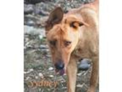 Adopt Sydney a Shepherd, Greyhound