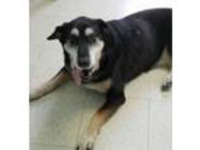 Adopt Blackie a Labrador Retriever, German Shepherd Dog