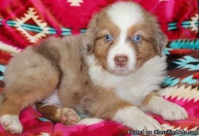 SAAU Australian Shepherd Puppies