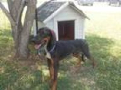 Adopt A021559 a Bloodhound, Mixed Breed