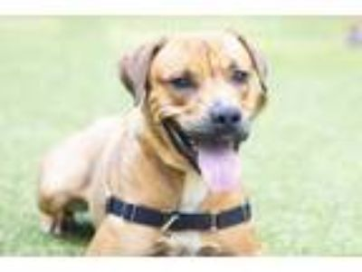 Adopt Kilo-ton o love a Brown/Chocolate Mastiff / Labrador Retriever / Mixed dog