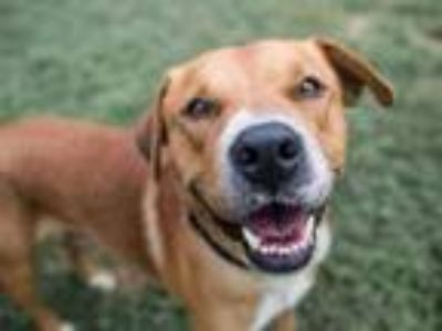 Adopt a Brown/Chocolate - with White Labrador Retriever / Mixed dog in Austin