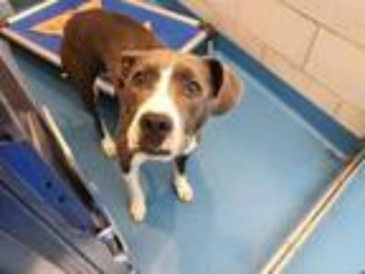 Adopt STRAY a Pit Bull Terrier