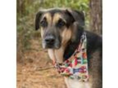 Adopt Atlas a German Shepherd Dog