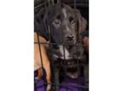 Adopt Molly a Black - with White Retriever (Unknown Type) / Collie / Mixed dog