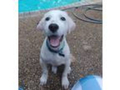 Adopt Crusoe a White Great Pyrenees / Mixed dog in Statewide, TX (25353714)