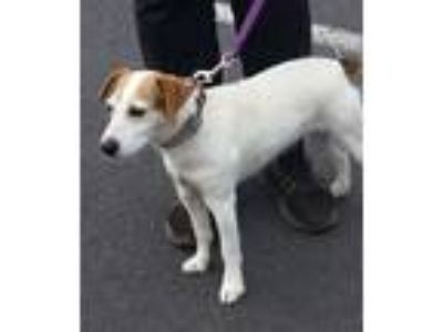 Adopt Annie Two a Jack Russell Terrier