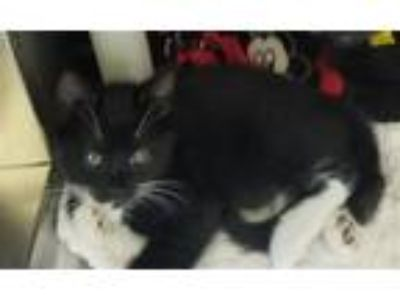 Adopt Charleston a Domestic Shorthair / Mixed cat in Oakland, CA (25517047)