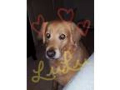 Adopt LuLu a Tan/Yellow/Fawn Golden Retriever dog in Jacksonville, FL (25902761)